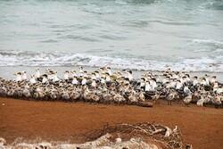 ورود بازدیدکنندگان به ساحل بنود پارک ملی نایبند ممنوع شد