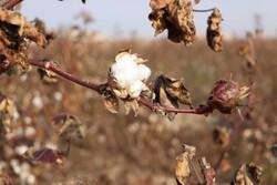 خراسان رضوی رتبه اول تولید پنبه را در کشور دارد/ پیش بینی تولید ۶۲ هزارتن در سالجاری