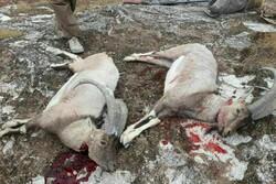 تصویری از شکار کل و بز در منطقه «کولگ»مهران/ محیط زیست: موضوع پیگیری میشود