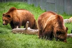 کشته شدن خرس توسط دامداران فومنی صحت ندارد