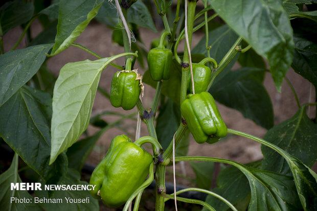 برداشت محصول گلخانه ای در چهار فصل
