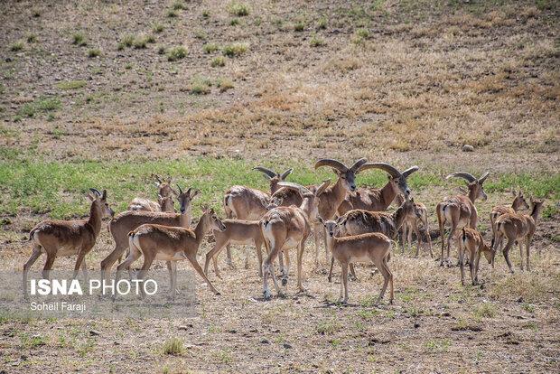 Wild sheep breeding site set up in northwestern Iran