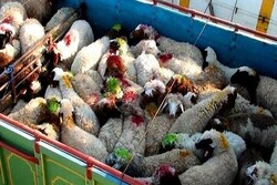 توقیف بزرگترین محموله قاچاق دام زنده به کشورهای حوزه خلیج فارس