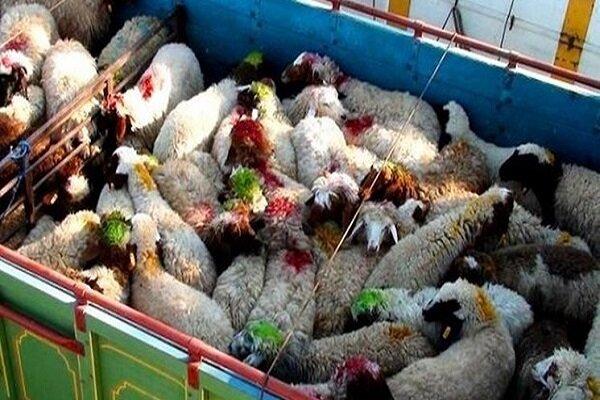 کشف ۵ هزار رأس دام قاچاق در خوزستان/ ۲۵۰ قاچاقچی دستگیر شدند