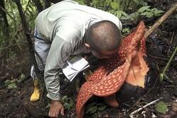 گل ۱۱۷ متری عظیمی در جنگل اندونزی رویید