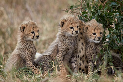 Five Asiatic cheetahs spotted in Turan National Park