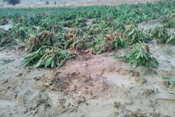 بارش تگرگ ۲۰۰ میلیارد ریال به بخش کشاورزی فنوج خسارت وارد کرد