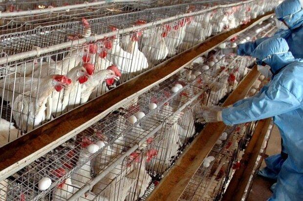 شناسایی یک کانون آنفلونزا فوق حاد پرندگان در کرمانشاه