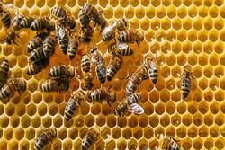 پیشبینی برداشت ۱۲۵ تن عسل در شهرستان بهار