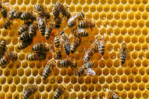 وضعیت صادرات عسل قابل قبول نیست/ واردات غیرقانونی ملکه