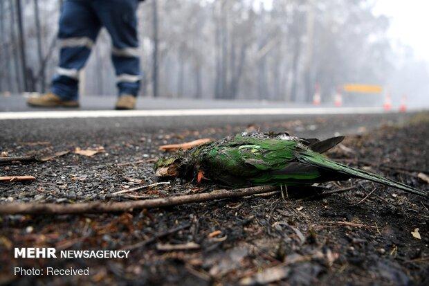صور مؤلمة للحيوانات في الحرائق الاستراليا