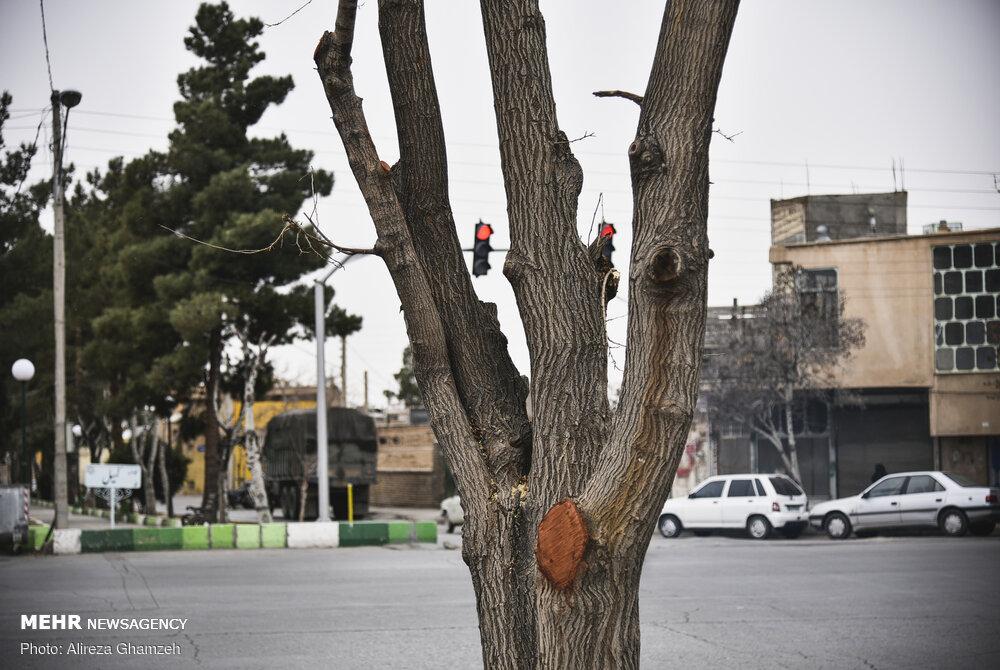 هرس نامتعارف درختان در شاهرود