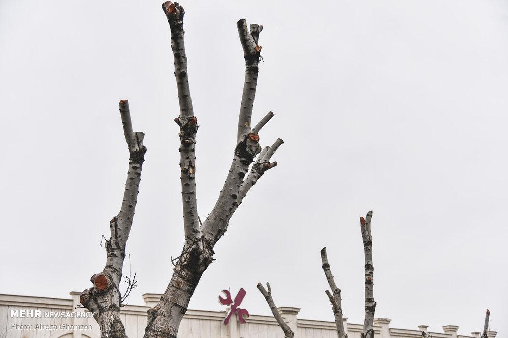 هرس درختان در شاهرود