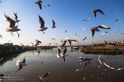 عامل مرگ پرندگان میانکاله شناخته شد