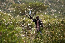 Afrika'da çekirge sürüsü tehdidi
