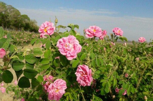 ۶۵۰ هکتار از اراضی کشارزی به کشت گل محمدی اختصاص دارد
