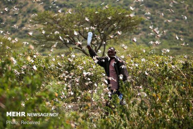 حمله بی سابقه گلههای ملخ به شرق آفریقا