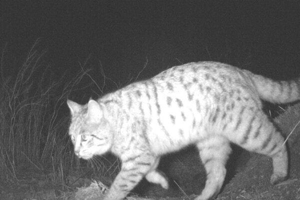 اولین مشاهده گربه وحشی در منطقه حفاظت شده باشگل ثبت شد