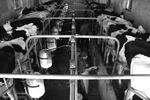 کاهش ۴ هزارتومانی قیمت دام زنده/چالش کارخانجات لبنی در فروش
