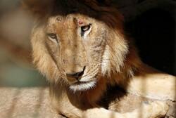 سوء تغذية الأسود في حدائق الحيوان بالسودان /صور