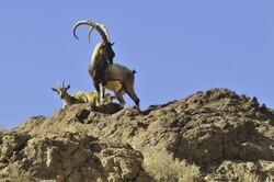 فیلمی از گله کل و بز در مناطق حفاظت شده البرز مرکزی