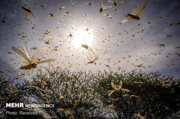 توزیع سم رایگان بین کشاورزان برای مقابله با ملخ های صحرایی