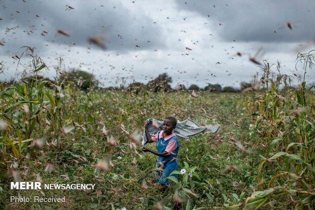 هجوم میلیاردها ملخ به کنیا