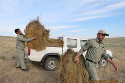 خروج علوفه دامی از آذربایجان غربی ممنوع شد
