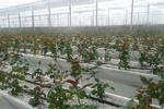 گلخانه تولید گل رز در چهارمحال و بختیاری به بهره برداری رسید