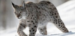 Rare endangered wild cat killed in car crash