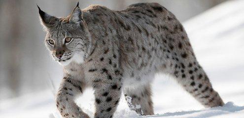 Rare endangered wild cat killed in car crash