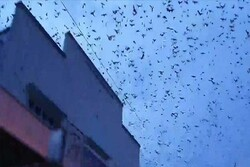 VIDEO: 'Bat tornado' invades Queensland town in Australia