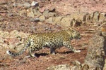 VIDEO: Two Persian leopards spotted in Shahroud
