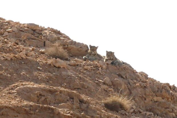 Three Persian leopards spotted in Taleghan, Shahroud