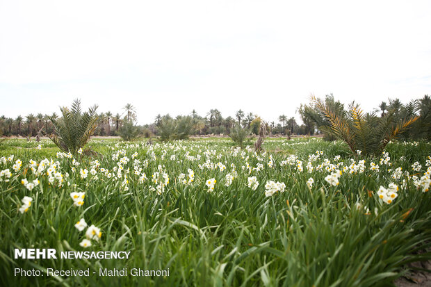 Farmers collect daffodils in Fars province