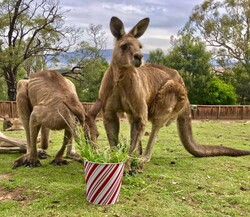 الحيوانات الناجية من حرائق أستراليا /صور