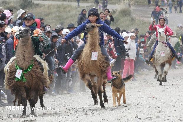مسابقه لاماسواری در پارک ملی اکوادور