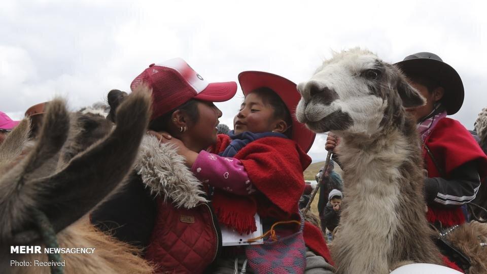 مسابقه لاما سواری در پارک ملی اکوادور