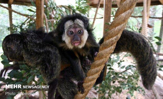گونه های عجیب میمون ها