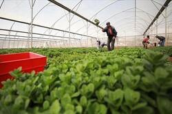 Siyonist Rejim Filistin tarım ürünlerinin ihracatını engelliyor
