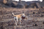 نبرد محیط زیست با سگ/ مهمان ناخواندهای که بلای جان حیات وحش است