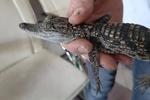 کشف و ضبط تمساح در بازار نواب/رهاسازی تعدادی از گونههای کشف شده