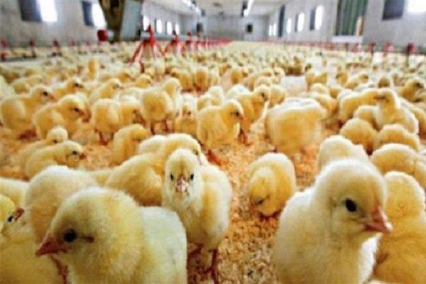 ۴۲۰ هزار قطعه مرغ گوشتی در مرغداریهای نقده جوجهریزی شد