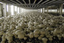 رتبه اول تهران در تولید قارچ خوراکی کشور/۴۲هزار تُن قارچ تولید شد