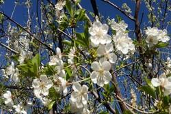 استقبال زودهنگام طبیعت یزد از بهار/ درختان شکوفه باران شدند