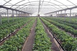 ۱۳ هزار تن محصول گلخانهای در خراسانجنوبی تولید شد