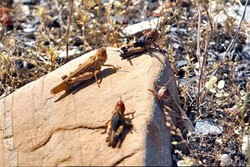 مبارزه شیمیایی با آفت ملخ صحرایی با تمام امکانات آغاز شده است