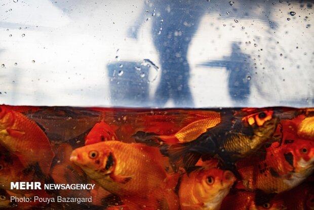 kırmızı balık