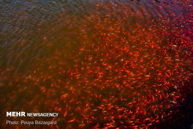 Goldfish cultivation for 'Haft-Seen'