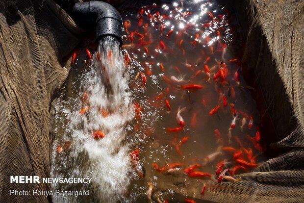 تربية اسماك الزينة الحمراء ضمن المائدة النوروزية